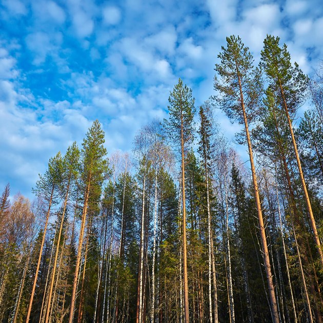 Russian forest_tree tops
